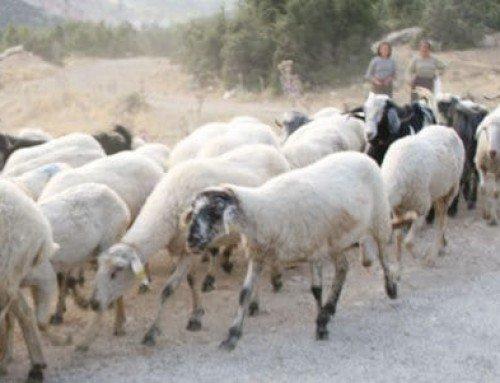 Recipe: Abbacchio alla Romana | Roman-style Suckling Lamb