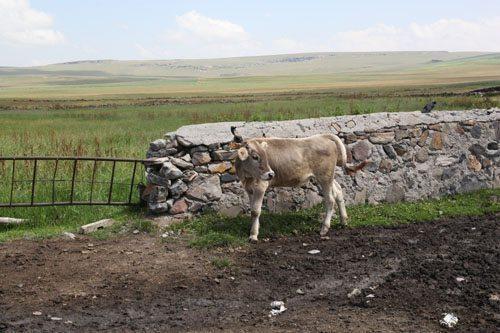 bogatepe cow